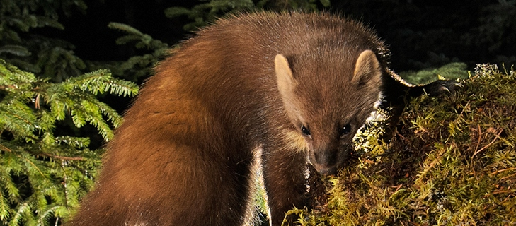 Pet-ID helps pine marten translocation project